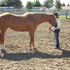 BEAUTIFUL Western Riding Horse for Sale