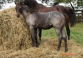 Son of WYO BLUE HAYES x Plenty Try