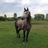 Beautiful 6yo Grey TB/QH Mare