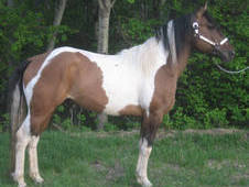 Flashy Zebra Dun Tobiano at Stud