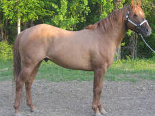 Red Dun Dual Pep Bred Stallion