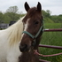 Awesome Registered Spotted Saddle Horse gelding