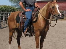 PB Arabian Gelding Old Bloodlines