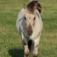Reg Yearling Grey Fjord Gelding