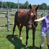 Saddlebred Mare -tons of potential