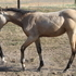 Buckskin filly by Mr Kokanee Gold
