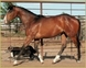 TRIPLE REGISTERED APHA / AQHA / PtHA  STALLION for sale in United States of America