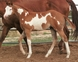 TRIPLE REGISTERED APHA / AQHA / PtHA  STALLION for sale