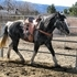 Beautiful flashy Percheron Shire cross for sale.