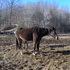 Reg. APHA Breeding Stock mare. Started Under Saddle