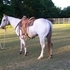Gorgeous App Gelding  Very Athletic And Fast!