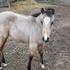 Buckskin Filly for sell
