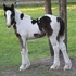 Wine & Roses 2015 Gypsy Vanner Horse filly with Latcho Drom & Cushti Bok lines