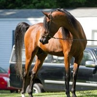 Champion Straight Egyptian Al Khamsa Arabian Stallion