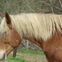 Haflinger gelding*drives*show project*dressage-lesson-youth- family horse project *15H
