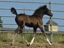 Stunning 2015 Black Purebred Arabian Filly ~Private Treaty