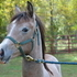 Upright yearling grey filly,  beautiful mover