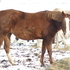 APHA Minimal White Overo Broodmare to forever home