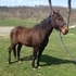 15.3 Gelding Big & Beautiful