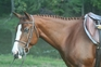 Talented hunter pony for sale in United States of America
