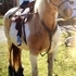 Registered north american palomino paint draft mare wow