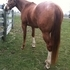 Flashy, Sound and sane appaloosa gelding