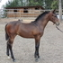 2012 CSH filly for sale- OldenburgxTB