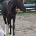 3 yr old Welsh cross gelding/ Free to good home
