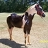 2014 APHA Black and White Tobiano Colt