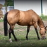 SOLD - Broke to ride Buckskin- In foal to 9 X world Champion