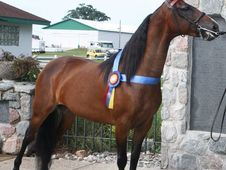 Perfect Morgan Show Horse