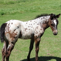 Deluxe Chromed Near Leopard Filly