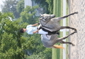 09 Thoroughbred Mare 15H Beautiful Temperament + Safe! Hunter or Dressage!