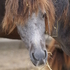Rescued welsh cross foals; steel grey colt and blue roan filly