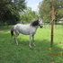 for sale peruvian mare