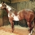 Apha two year old gelding / ROM in Halter