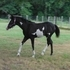 Black Overo Half Arabian filly