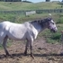 100% FPD Blue SnowCap Stallion