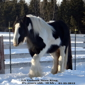 Goliath, gypsy cob stallion, Grandson of Lion King and SDJim
