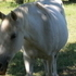 Flea Bit Egyptian Mare for Salen
