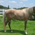 Gorgeous chocolate with flaxen mane and tail, quiet, smooth moving, loves people.