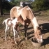 Flashy Paint colt and Buckskin Paint Mare