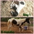 Black & White Tovero filly