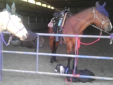 Shareboard/Lease HUSBAND SAFE Bay Gelding