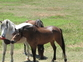 Welsh pony performance prospects for sale