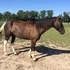 Tennessee Walker Mare 5 years old see video!
