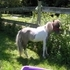 Miniature horses for sale