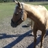 7. 5 yr old palamino qh mare for trade or sale