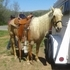 7.5 yr old palamino english/western quarter horse mare