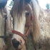Flashy & Sweet Registered Clydesdale Mare!